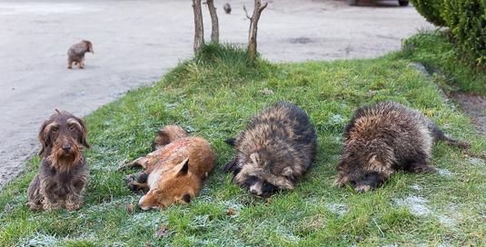 Dackel Foxi nach der Jagd