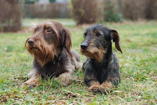 Rauhaardackel Foxi und Baya